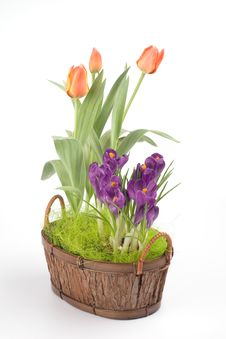 Free Violet Crocuses And Orange Tulips Stock Photos - 4682673