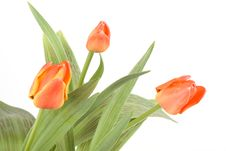 Free Tulips Stock Images - 4682684