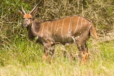 Free A Male Kudu Stock Photos - 4682753