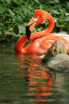 Free Flamingo Stock Photography - 4682762