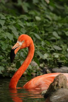 Free Flamingo Royalty Free Stock Image - 4682786