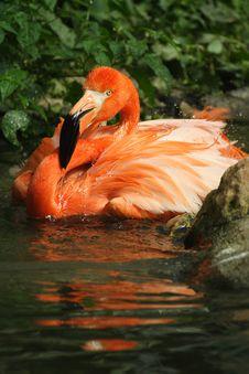 Free Flamingo Bird Royalty Free Stock Images - 4682789