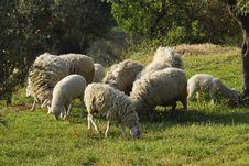 Free Sheep Royalty Free Stock Image - 4683706