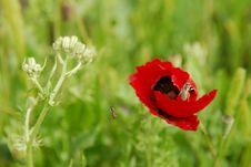 Free Opium Poppy Royalty Free Stock Photography - 4683757