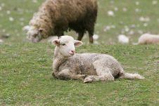 Free Young Lamb Royalty Free Stock Photos - 4684138