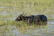 Free Water Buffalo Stock Photography - 4684182