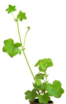 Free Etoilated Pelagonium Royalty Free Stock Image - 4684276