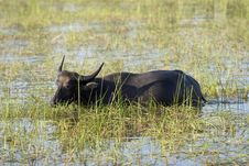 Free Water Buffalo Royalty Free Stock Photo - 4684295