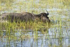 Free Water Buffalo Royalty Free Stock Photography - 4684357