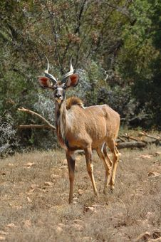 Kudu (Tragelaphus Strepsiceros) Royalty Free Stock Photo
