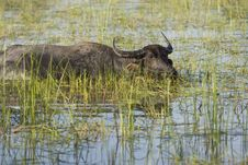 Free Water Buffalo Royalty Free Stock Photo - 4684445