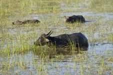 Free Water Buffalo Stock Photo - 4684580