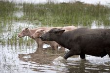 Free Water Buffalo Stock Photography - 4684752