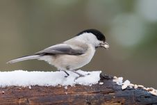 Free Willow Tit1 Stock Images - 4684964