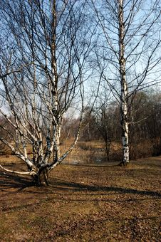 Spring Landscape With Birch Royalty Free Stock Photography