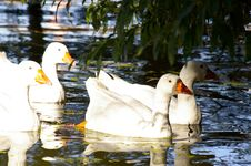 Free Geese At Nature Royalty Free Stock Photo - 4684985