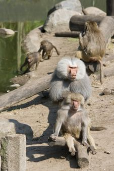 Free Baboons Grooming And Playing Royalty Free Stock Photography - 4685197