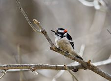 Free Downy Woodpecker Stock Photos - 4685493