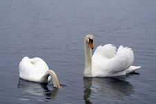 Free Two Swans Stock Photo - 4685540