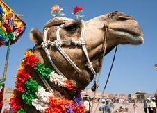 Free Camel On Safari Stock Image - 4685791