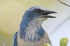 Free Close Up Head Shot Of A Florida Scrub Jay Royalty Free Stock Photo - 4686405