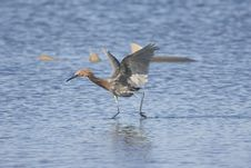 Free Reddish Egret Fishing On The Salt Flats Royalty Free Stock Image - 4686886