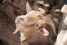 Free Goat. Royalty Free Stock Photo - 4687265