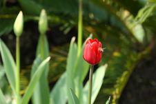 Free Red Tulip And Bee Stock Images - 4687814