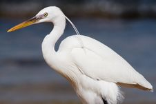 Free White Heron Stock Photos - 4687913