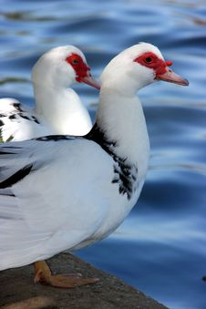 Free Geese Royalty Free Stock Photos - 4688168