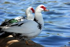 Free Geese Stock Photos - 4688173