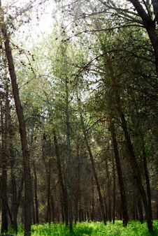 Free Forest Royalty Free Stock Photography - 4688917