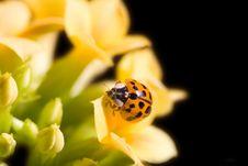 Free Ladybug Royalty Free Stock Photography - 4689347