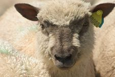 Free Sheep Royalty Free Stock Photo - 4689445