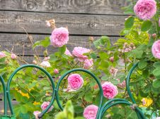 Free Pink Roses In The Garden Royalty Free Stock Photo - 46870815