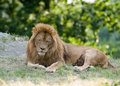 Free Lion Royalty Free Stock Image - 4690946