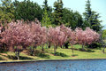 Free Cherry Blossom Royalty Free Stock Images - 4696609