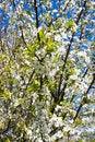 Free Plum Tree Blossoms Stock Photography - 4699472