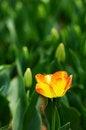 Free Orange Tulip Stock Photos - 4699913