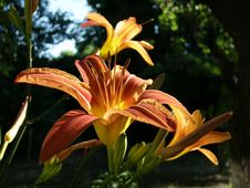 Free Lily Royalty Free Stock Photography - 4690057