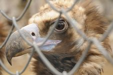 Free Black Vulture Royalty Free Stock Photography - 4690197