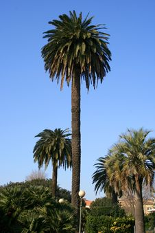 Free Palmtree Royalty Free Stock Photography - 4690227
