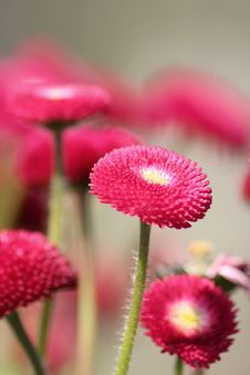 Free Red Flower Stock Photography - 4690232