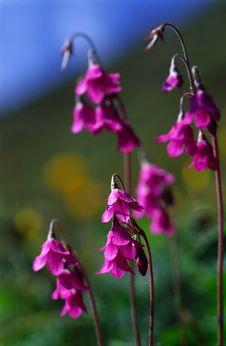 Free Matthiol Cortusa Flowers Royalty Free Stock Image - 4692216