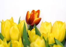 Free Orange Tulip Royalty Free Stock Photo - 4693035