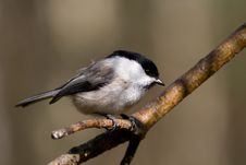 Free Willow Tit Stock Image - 4693051