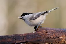 Free Willow Tit Stock Images - 4693104