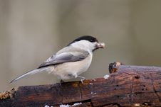 Free Willow Tit1 Stock Image - 4693121