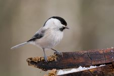 Free Willow Tit Royalty Free Stock Images - 4693129