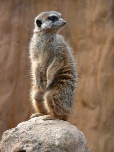Free Meerkat - Suricata Suricatta Royalty Free Stock Photos - 4693718